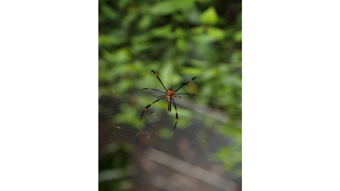 australian spider