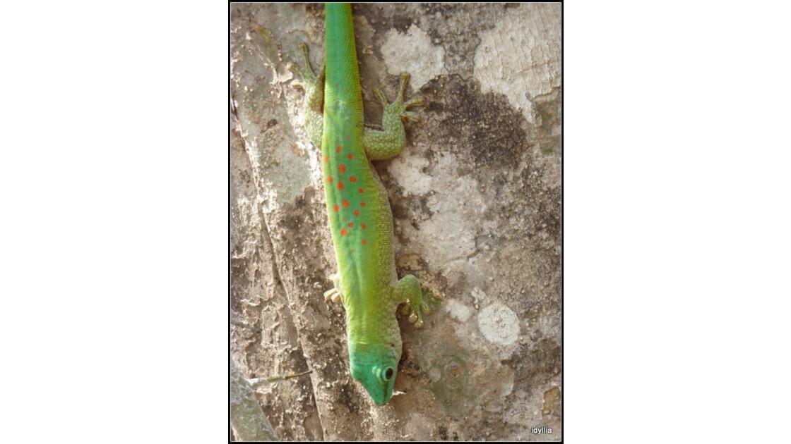 Phelsuma ou gecko de madagascar