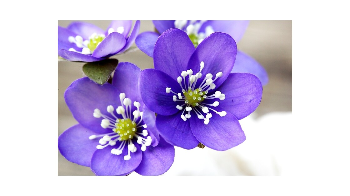 anémone hepatique...hepatica nobilis...