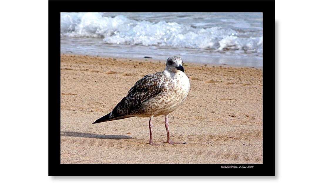 Goéland cendré sur sable doré