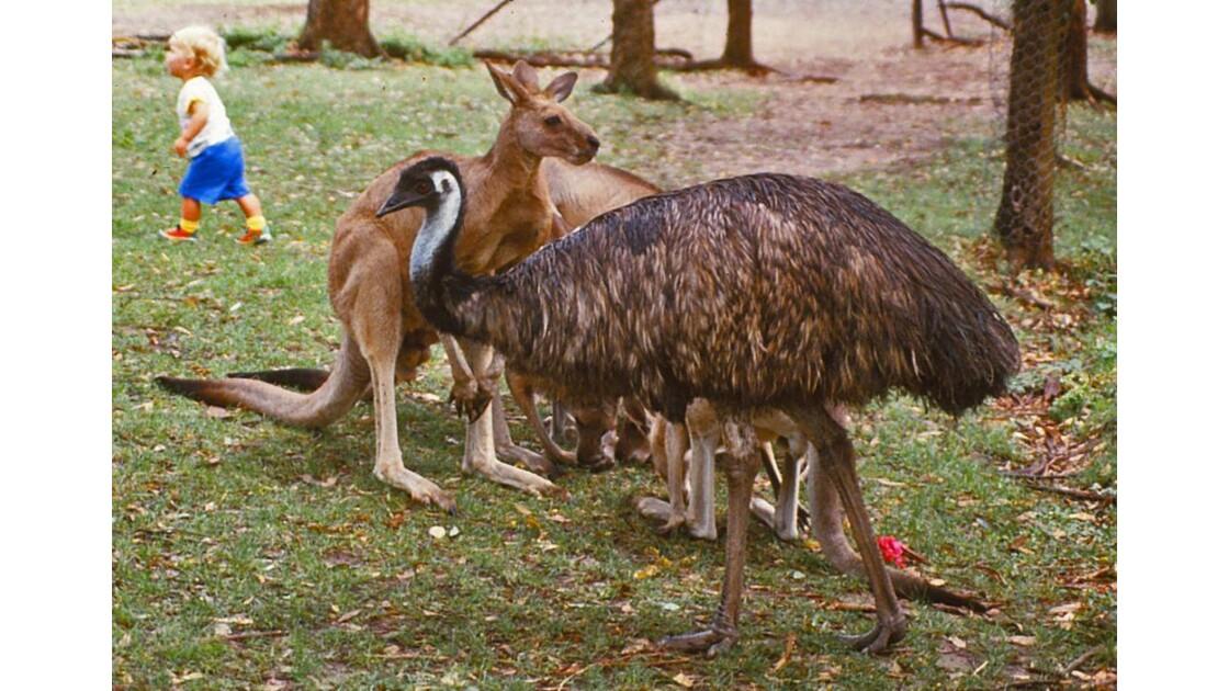 Emeu et kangourous