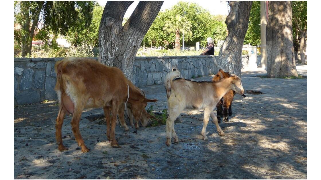 Chèvres, Selçuk