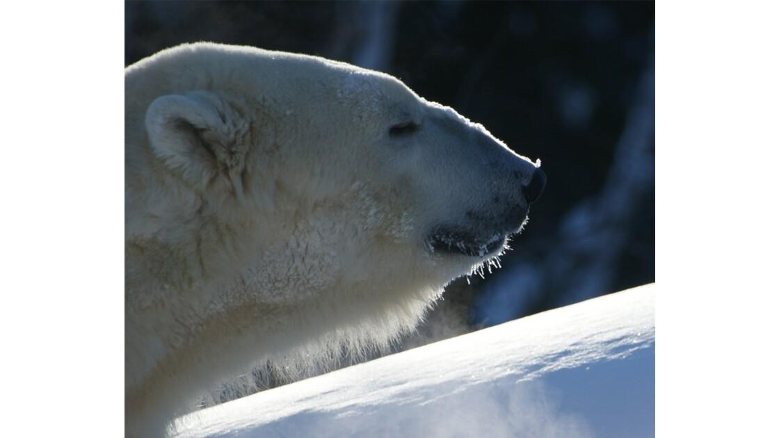 Yélé, l'ours mâle 4