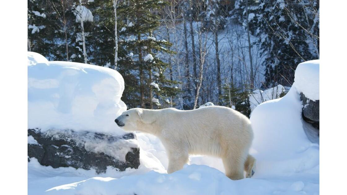Yélé, l'ours mâle 1