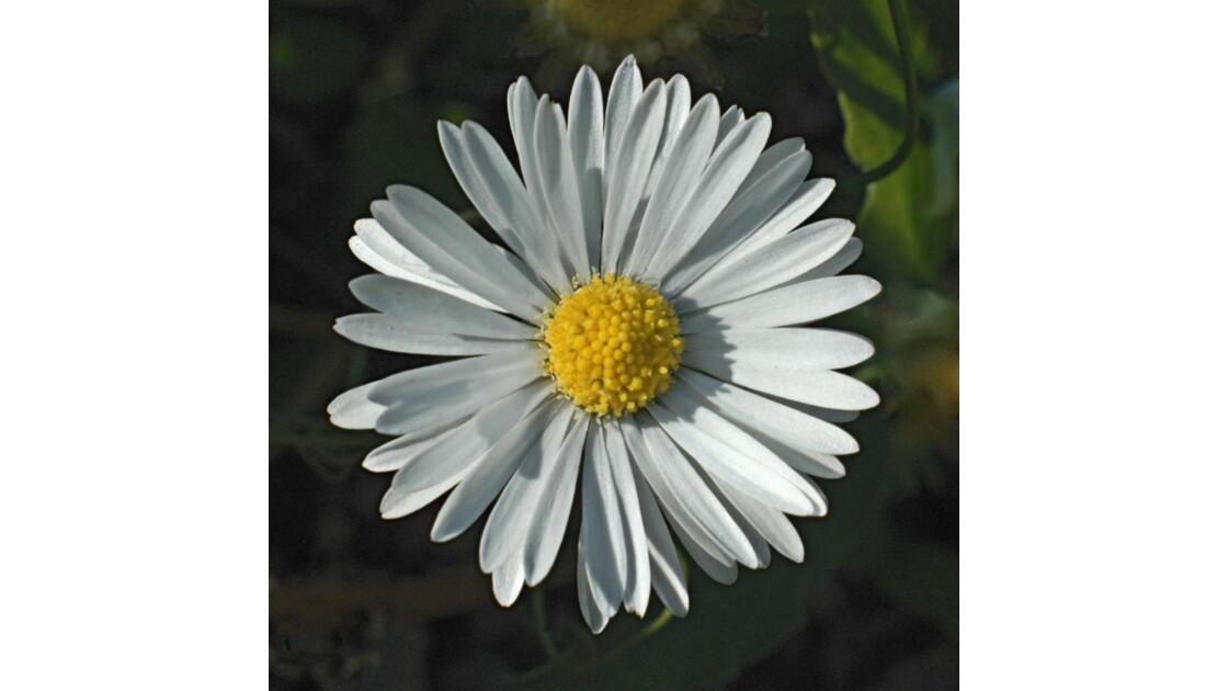 Marguerite.