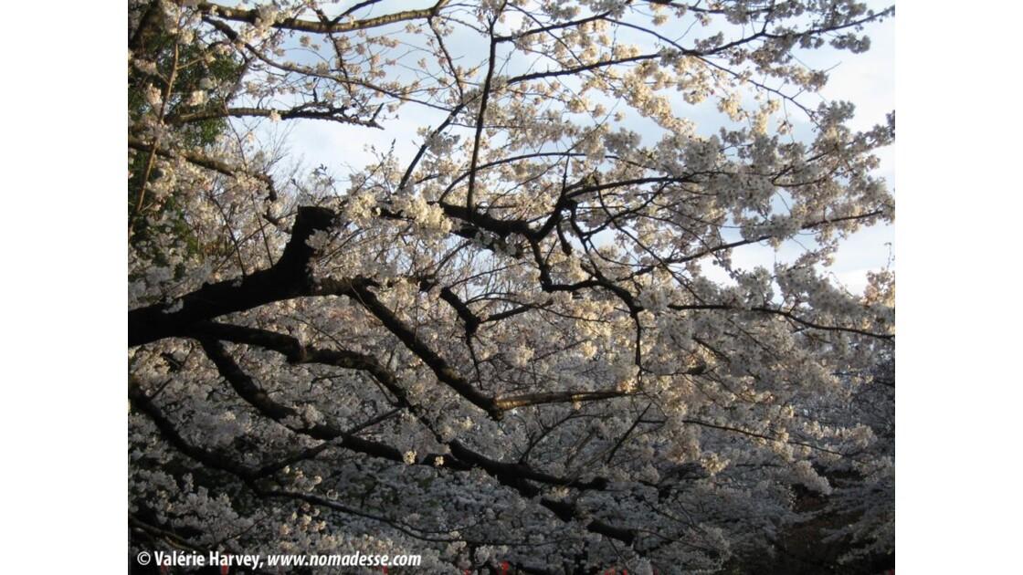 Cerisiers en fleurs, Tokyo, parc de Ueno