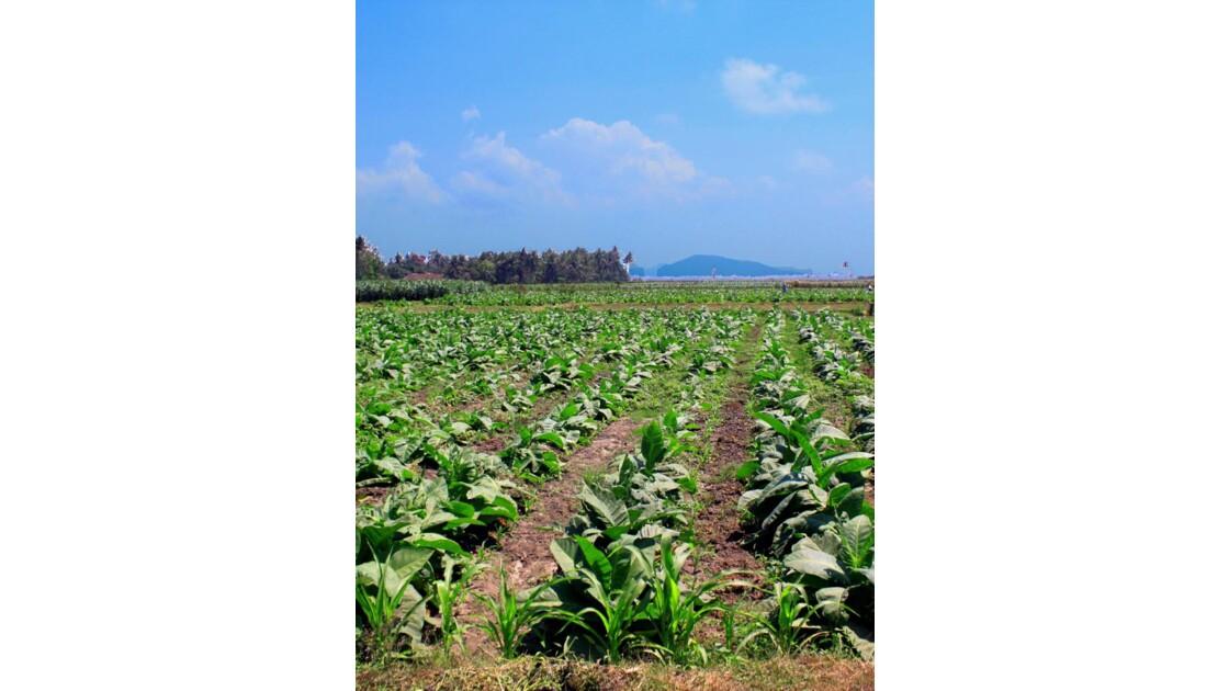 Champ de  tabac. à Java
