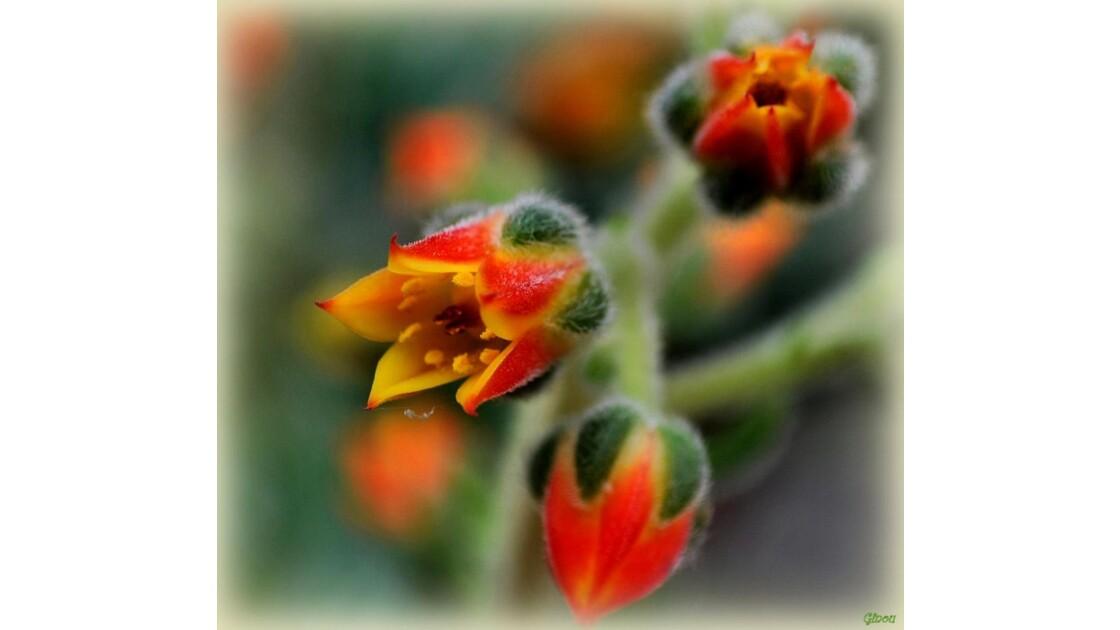 Fleur de cactée -8925
