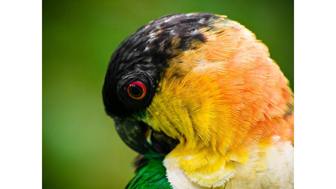 Perroquet Guyanais