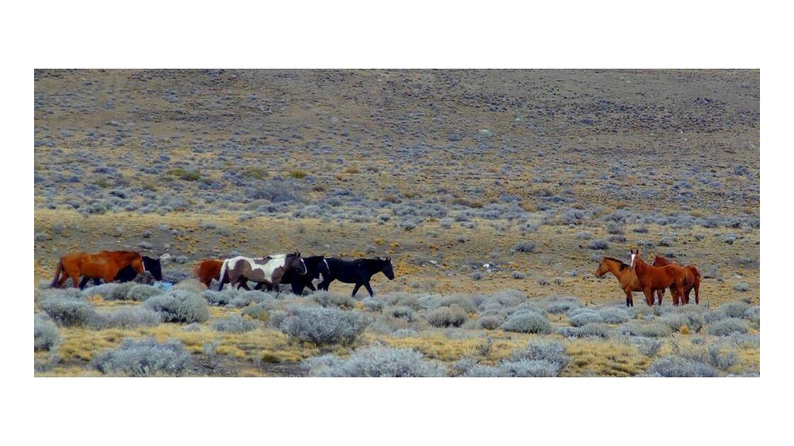 Chevaux de Patagonie