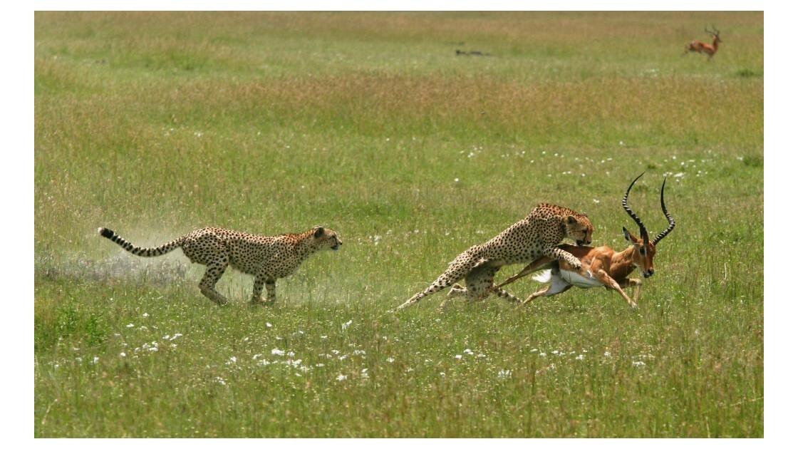 Chasse de guépards sur Impala