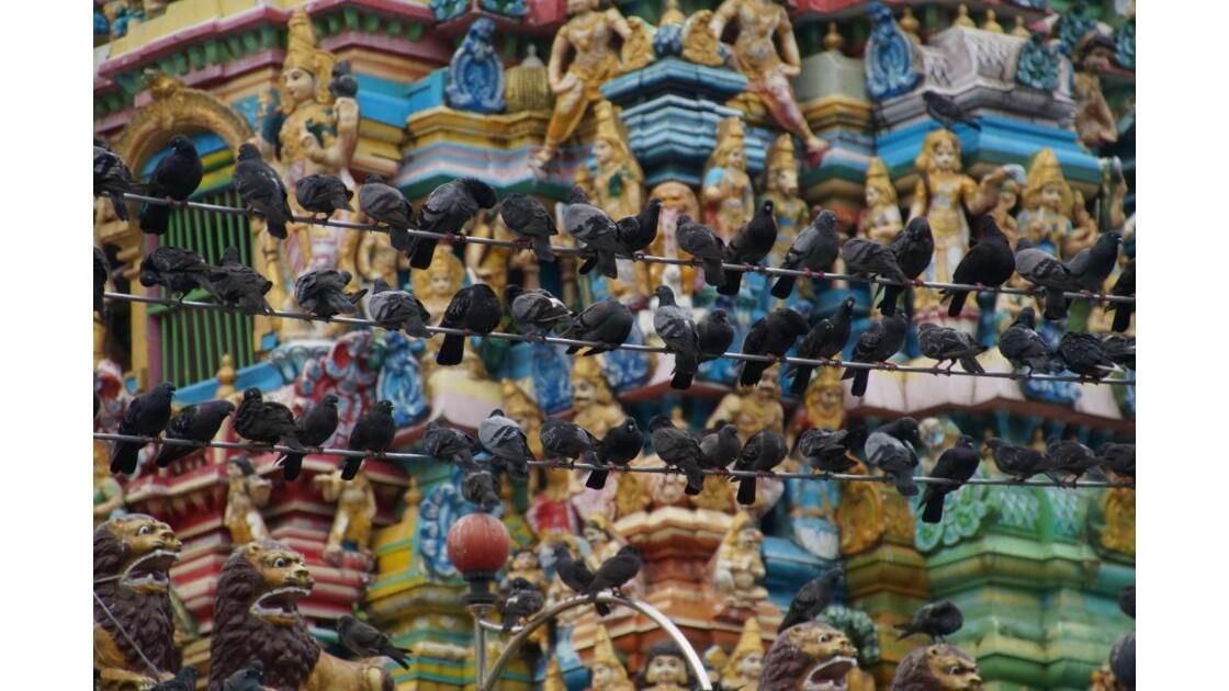 Yangon_Pigeons.jpg