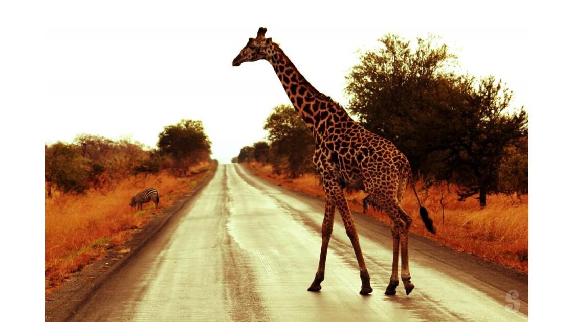 Girafe Parc National de Mikumi