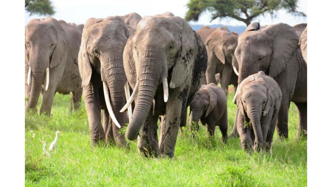 Kenya_Une grande famille d'éléphants