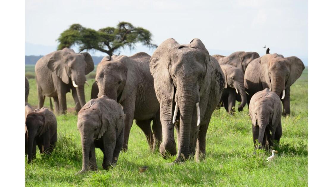 Kenya_Elephants au parc Amboseli