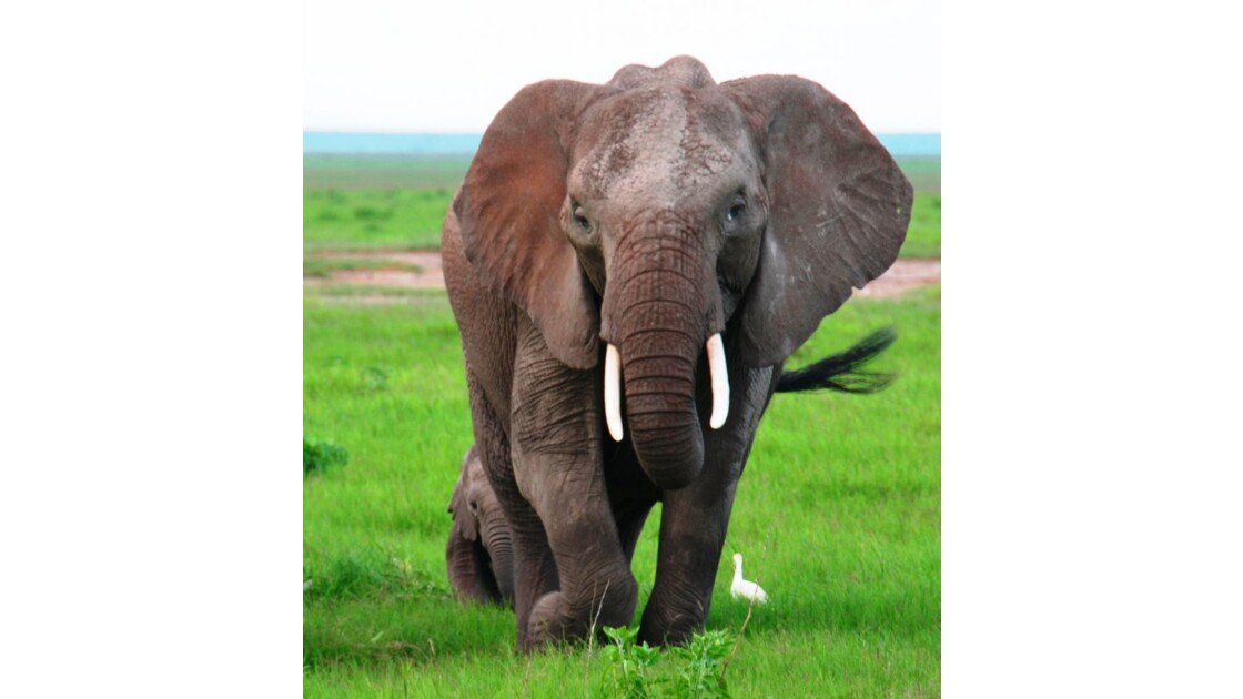 Kenya_Elephante