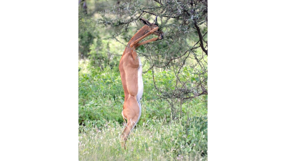 Kenya_Gazelle-Girafe