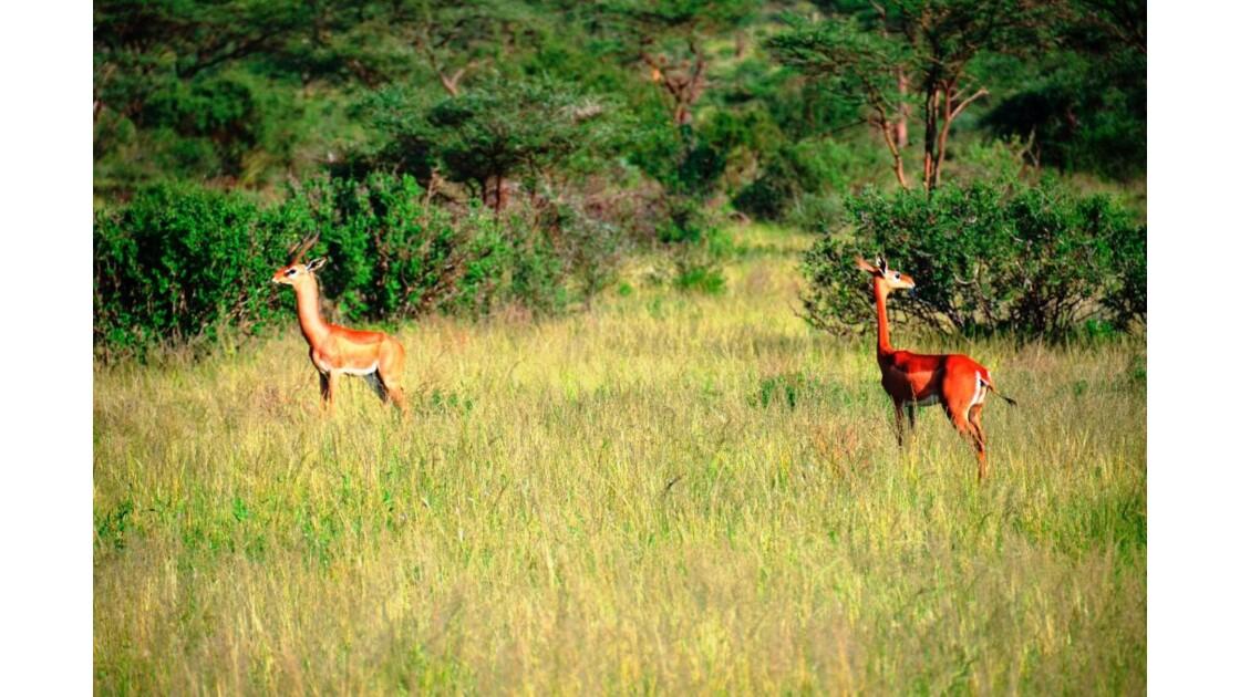 Kenya_Couple de Gazelle-Girafe