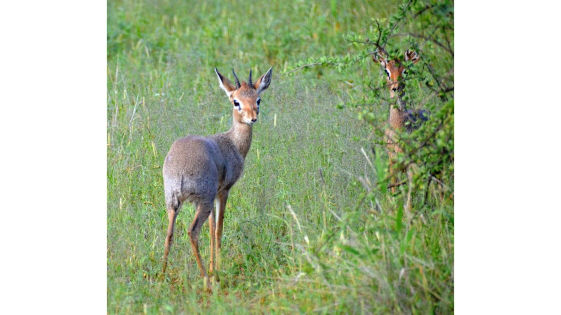 Kenya_DIck-Dick, la plus petite gazelle