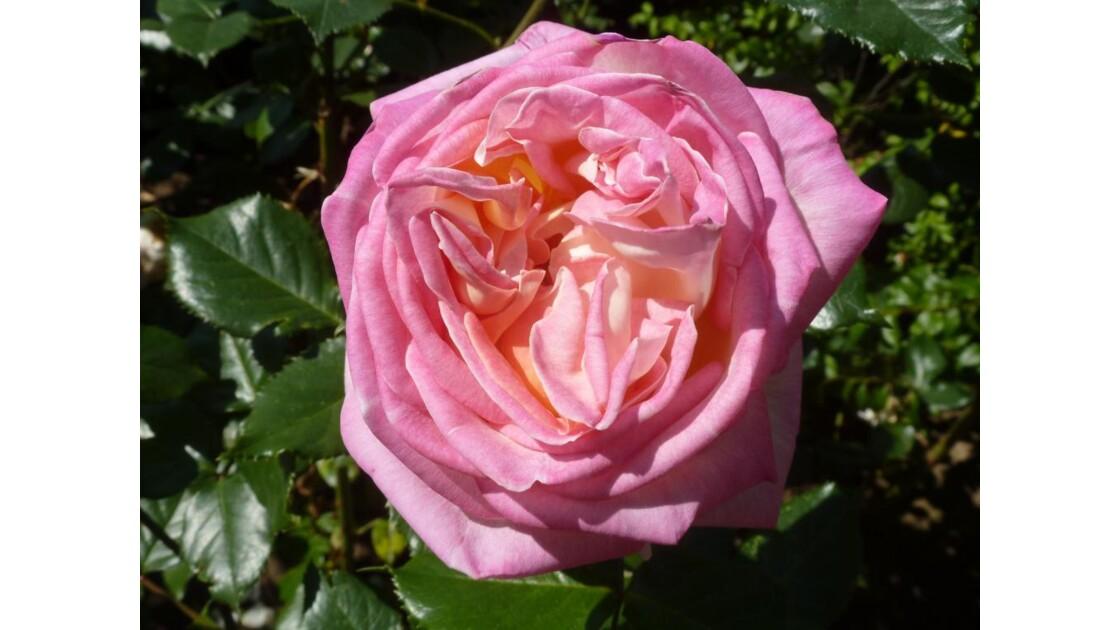 rosae rosae  rosam....