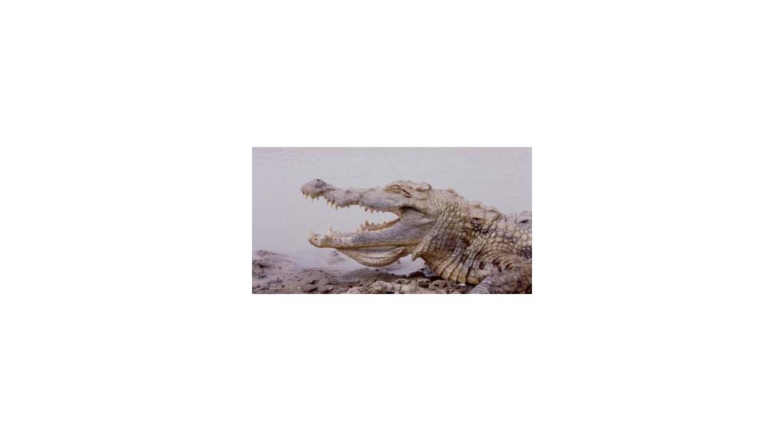 Crocodile Sacré