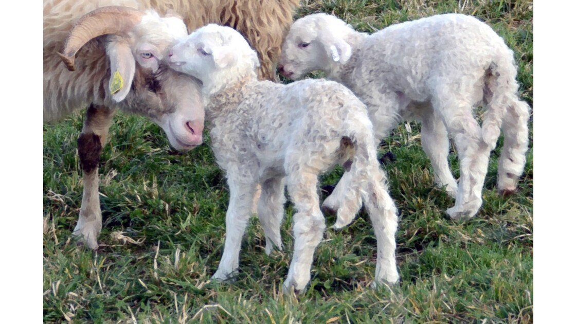 Progéniture ovine