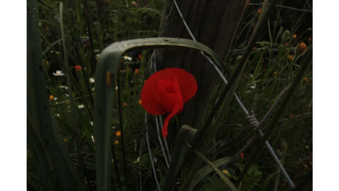 Fleurs de Corse - coquelicot des champs