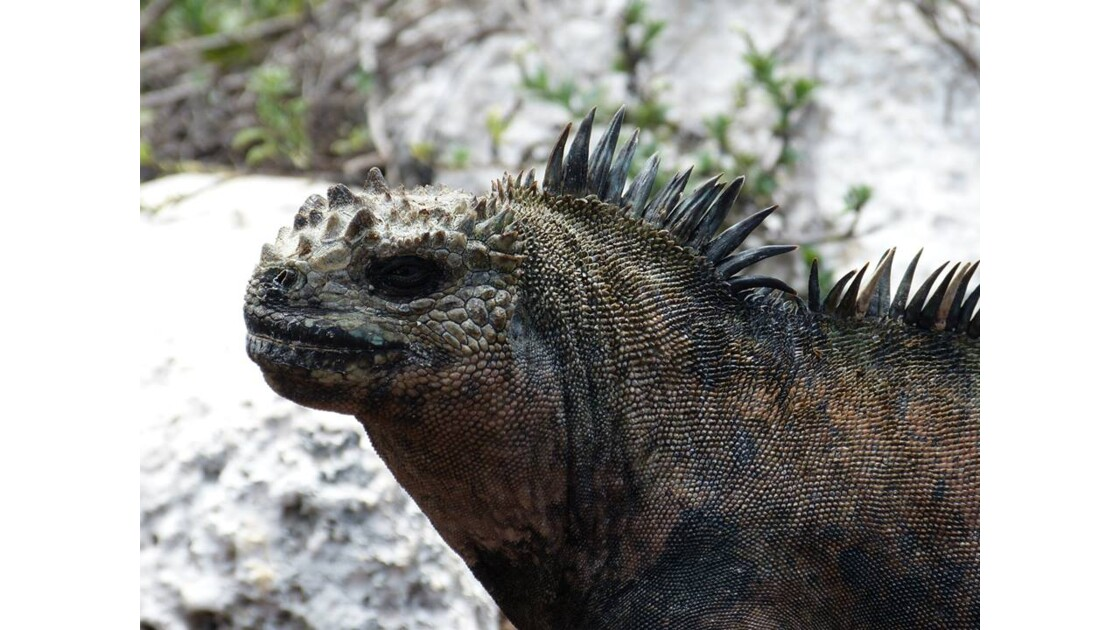 Iguane des Galápagos