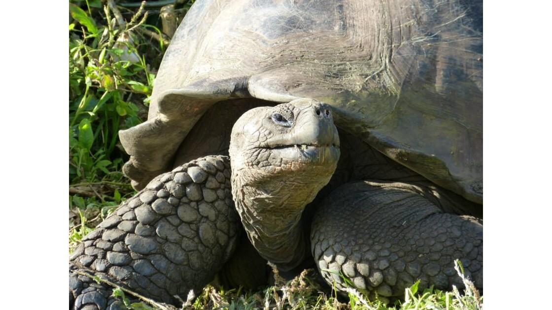 Tortue géante des Galápagos