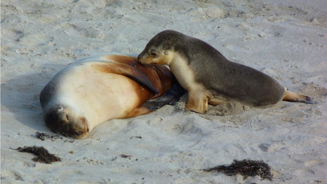 phoques plage Kangaroo Island
