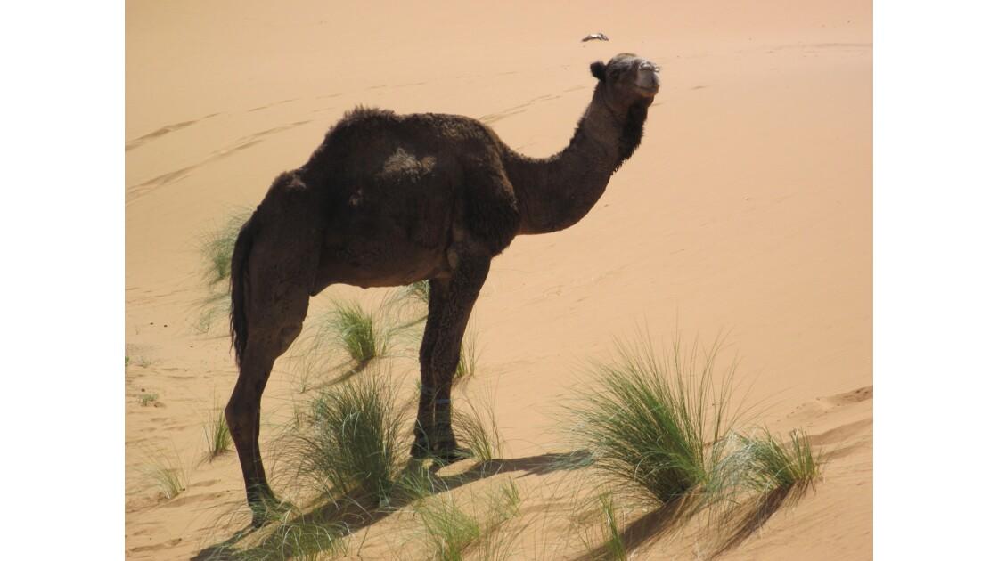 Un beau spécimen de dromadaire en liberté dans les dunes de Merzouga