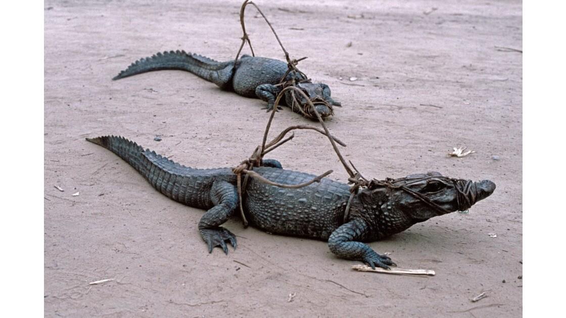 Congo - crocodiles capturés