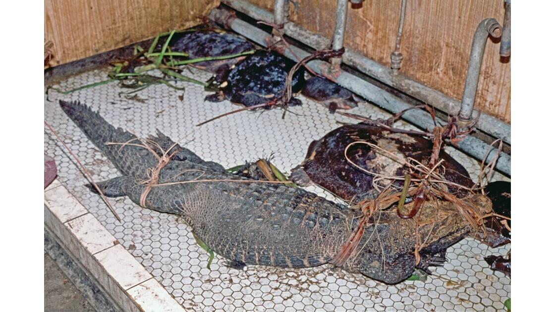 Fleuve Congo tortues et crocodiles sous la douche