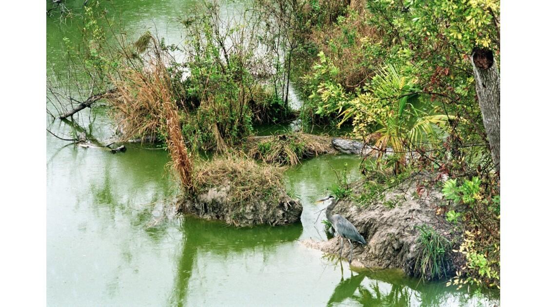 Etats-Unis Everglades Crocodile  et héron