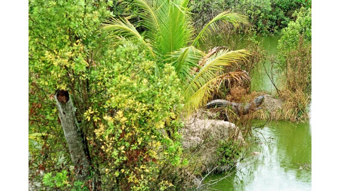 Etats-Unis Everglades Crocodile Américain 1