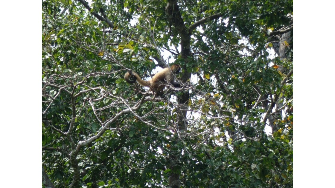 Costa Rica Tortuguero Singe écureuil 1