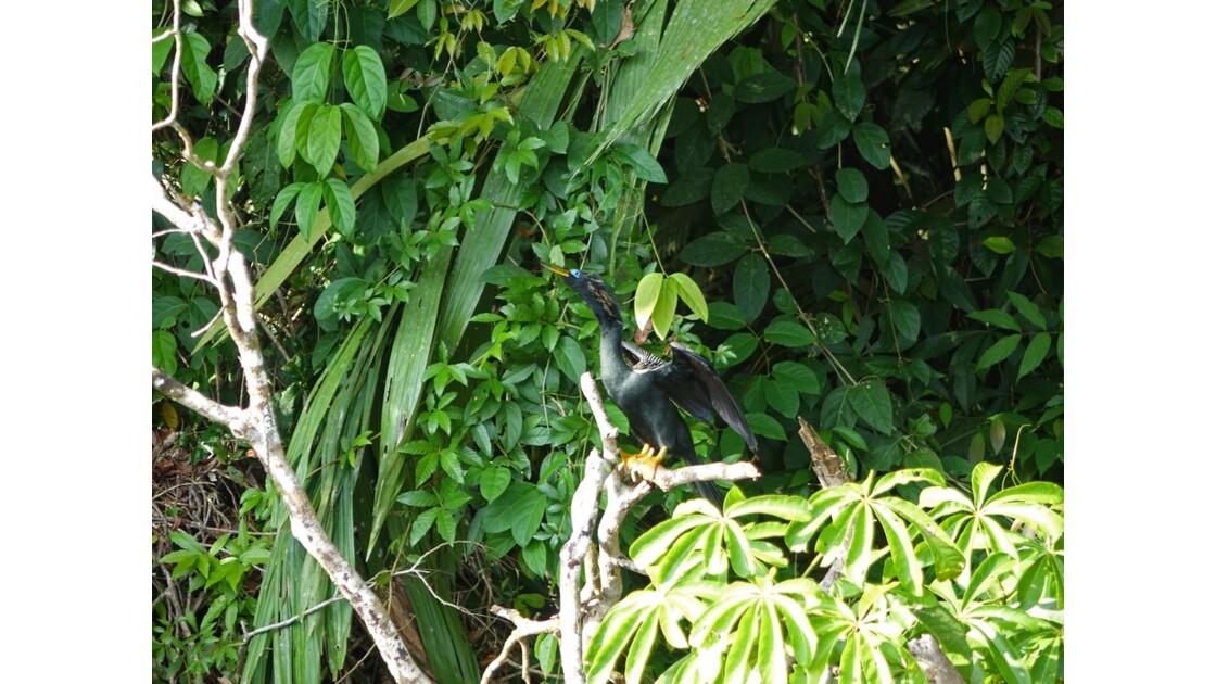 Costa Rica Anhinga sur les canaux de Tortuguero 1