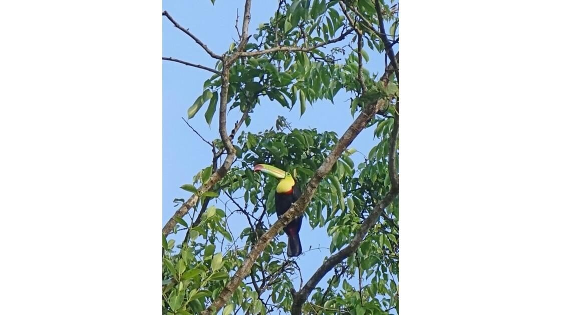 Costa Rica Toucan de Swainson sur les canaux de Tortuguero 1
