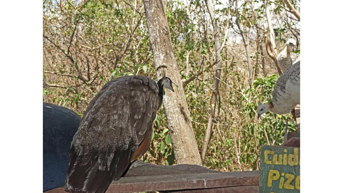 Costa Rica Miravalles colonie de paons 5
