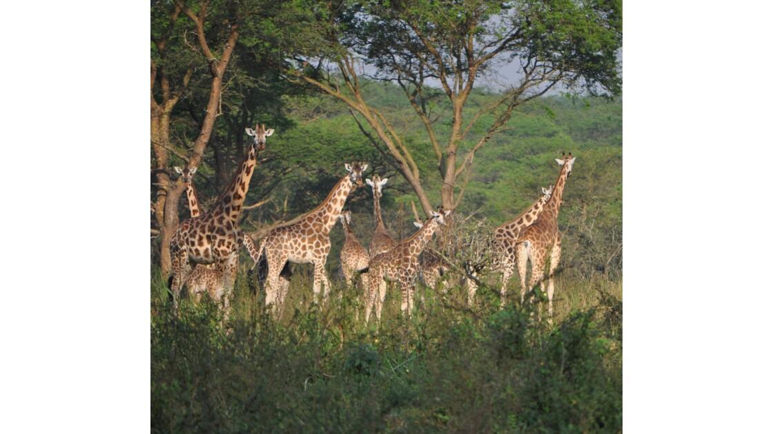 Tour de Giraffes