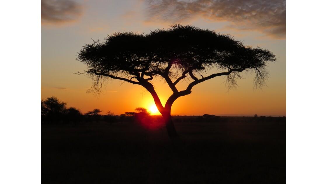 Acacia au lever du soleil