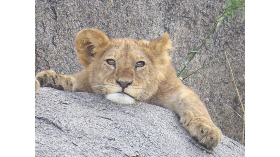 Lionceau observateur