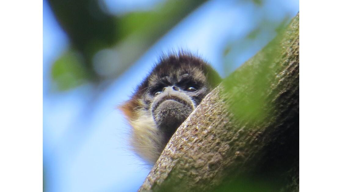 regard de singe