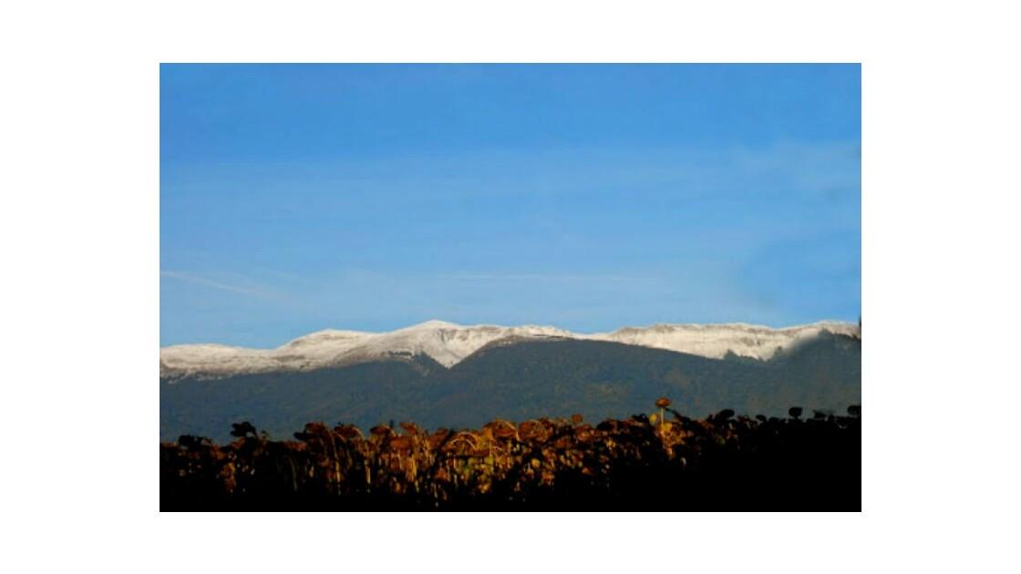 Tournesols en automne face aux montagnes du Jura