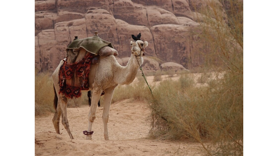 Jordanie Wadi Rum les oiseaux du 2e matin 1
