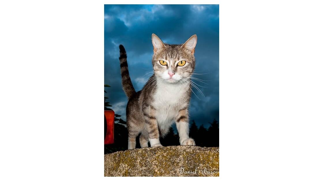 le chat aux yeux jaune