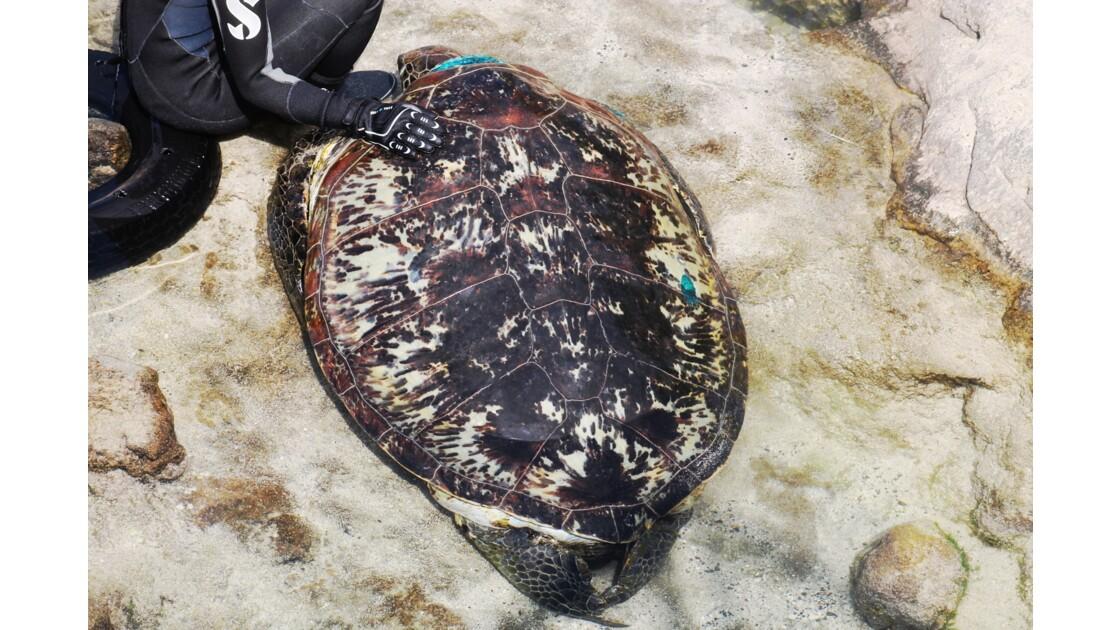Les tortues vertes de Kélonia