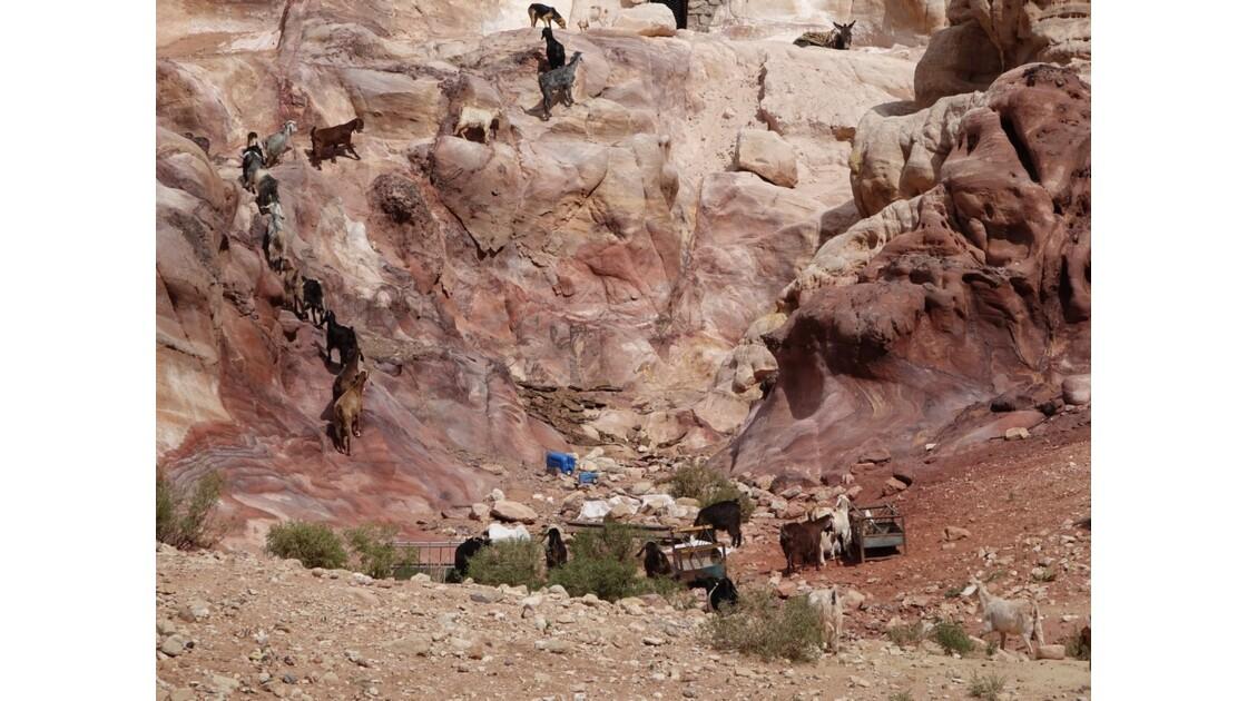 Jordanie Pétra Troupeau sur le Moghar en Nassara 2