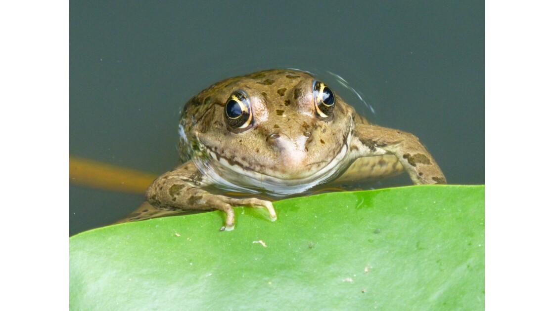 Petite grenouille sur les berges de la Vézère.
