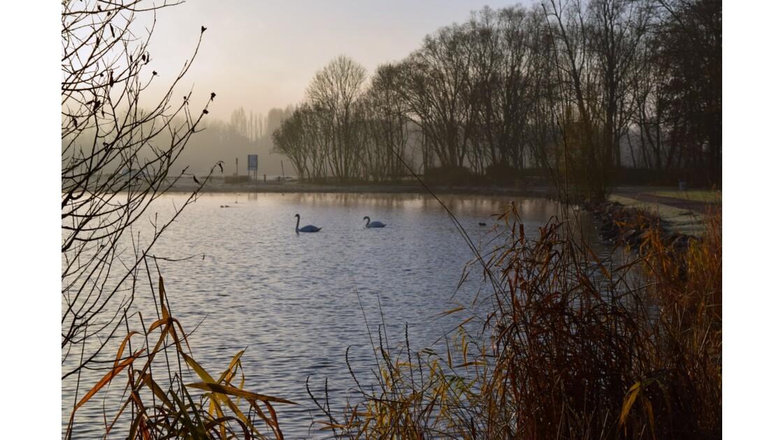 cygnes au bord de l'eau dans un froid de canard